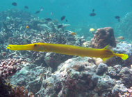 Trumpetfishes